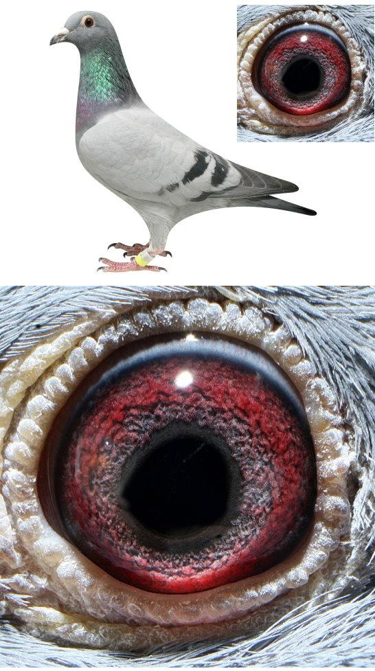 色小�9nl�.��l#Zz�_nl07-1445769雌(07幼鸽,性别仅供参考)